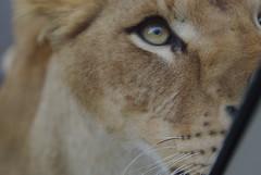 ライオンさん。