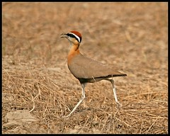 Indian Courser (Cursorius coromandelicus) spotted in Sultanpur Bird Sanctuary, India (Saran Vaid) Tags: wild india white bird nature beautiful beauty birds fauna wings asia open bokeh wildlife indian small birding wing beak reserve sigma dry aves best safari exotic national endangered elegant habitat soe sanctuary spotting birdsanctuary sighting birdwatcher haryana sultanpur courser threatened flickrsbest indiancourser canoneos400d sultanpurbirdsanctuary anawesomeshot avianexcellence flickrdiamond theunforgettablepictures cursoriuscoromandelicus rubyphotographer flickrlovers sigma150500 vosplusbellesphotos slbwalking slbcalling sigma150500mmf563dgoshsm worldclassnaturephotoni
