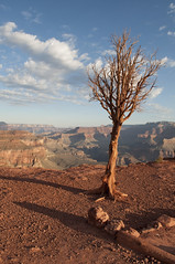 Lone tree in the Grand Canyon (Grand Canyon, Arizona, United States) Photo