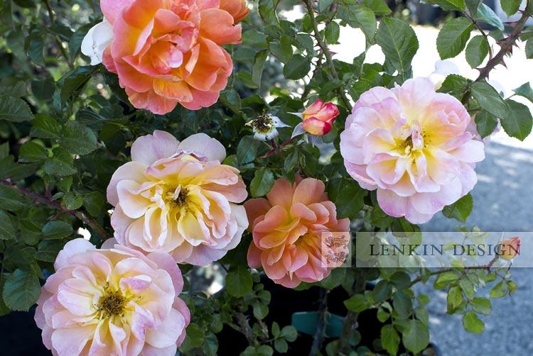 HL-Rose-04.29.10-009