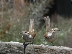 Thryomanes bewickii (Mathesont) Tags: california bird yard wren martinez passeriformes thryomanes bewickii troglodytidae contracostaco brewickswren
