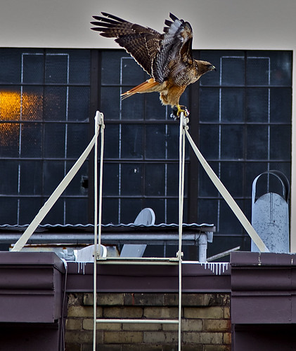 Red-tailed Hawk on Polk