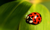 """too much sun.. i'll go back into the shade"" (schoebs) Tags: macro canon leaf beetle sigma sunny bamboo ladybird marienkäfer 150mm 40d mywinners schoebs"