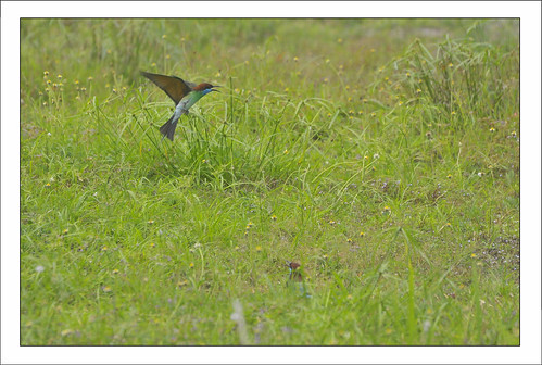 Hovering, Blue Throated Bee-eater