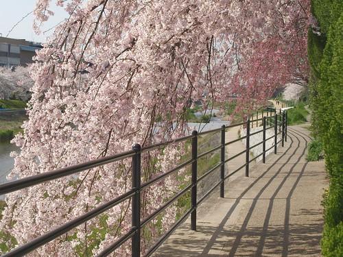 20080405 哲学の道・鴨川の桜 201
