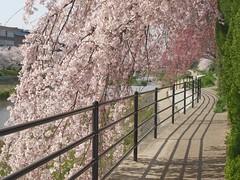 20080405 哲学の道・鴨川の桜 201 (by merec0)