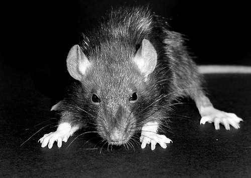 This was the most sinister image of a rat I could find on short order.