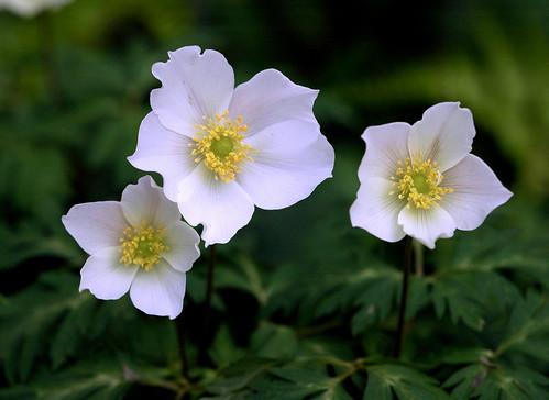 17 Japanese Flower Meanings - Japan Talk