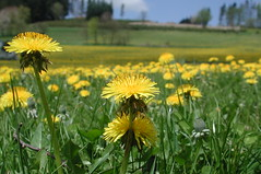 Dandelions (homo_sapiens) Tags: detail macro green yellow spring dandelion gelb grn lwenzahn taraxacumofficinale