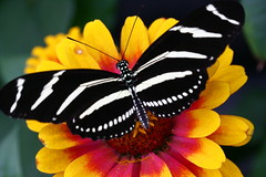 B&W with a bit of color (BrittD3) Tags: nature beauty canon butterfly fly wings canoneos zebralongwing digitalcameraclub top2020 40d platinumphoto aplusphoto eos40d canoneos40d theunforgettablepictures canon40d colourartaward overtheshot