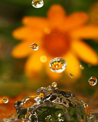 refraction (Impian) Tags: flower reflection water drop refraction droplet geel soe bloem druppel reflectie colourartaward magicdonkeysbest refractie
