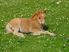 "Shetland Pony Foal (nz_willowherb) Tags: fauna see scotland flickr tour visit shetland to"" ""go visitshetland seeshetland goptoshetland"