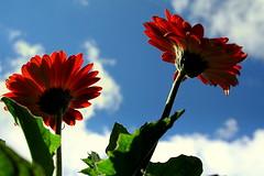 flores... (Fabiana Velso) Tags: flores verde azul laranja cu grbera explore nuvem frente tedesafio duetos frenteafrente fabianavelso