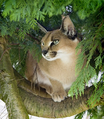 Caracal in a tree (*sarah b*) Tags: animal wildlife inatree caracal smallcat africanlynx mywinners wickipedia catssurvivaltrust