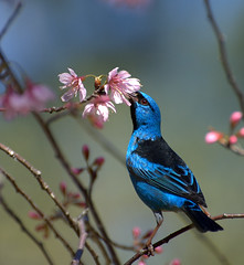 SA-AZUL macho (Dacnis cayana) (Dario Sanches) Tags: blue parque bird nature animal azul brasil natureza internacional alberto florestal concurso pajaro paulo fotografia sao sai nationalgeographic horto bluedacnis cerejeira estadual lofgren dacniscayana saazul cayana dacnis saiazul dariosanches dariosan animaisaoextremo