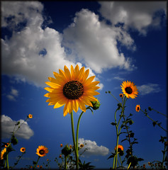 Sunflowers (crowt59) Tags: blue sky wow nikon texas sunflower lascolinas d300 naturesfinest getrdun abigfave aroundus superbmasterpiece amazingamateur theunforgettablepictures flowerwatcher picturefantastic theperfectphotographer crowt59 auniverseofflowers goldenheartaward vosplusbellesphotos reflectyourworld