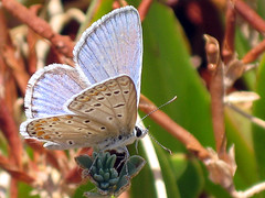 Blue butterfly (mcgin's dad) Tags: portugal butterflies insects algarve canondigitalixus70