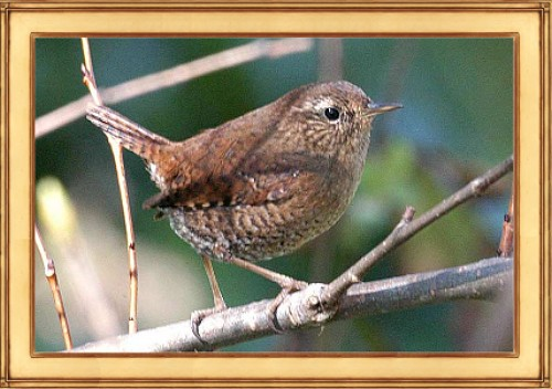 BiolRamblings-WinterWren