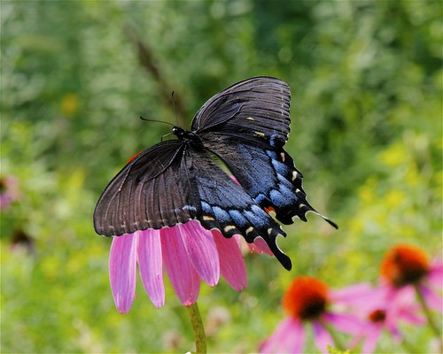 Female Eastern Tiger Swallowtail (Black Form)