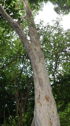 13.像抹著白色糖霜的樹幹
