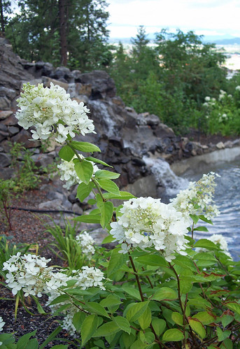 White hydrangeas at fountain