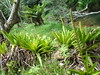 Healthy bromilliads... (tropicalgardener1) Tags: forest puerto hiking rico carite