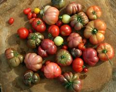 (Krista M (Balance Photography)) Tags: garden tomato backyard harvest heirloom organic