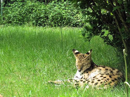 Serval by Stefan on Flickr