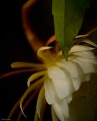 Night Blooming Cereus (T. Scott Carlisle) Tags: flower macro night botanical plan crop tropical nikkor blooming cereus tsc 105mmf28gvrmicro tphotographic tphotographiccom tscarlisle tscottcarlisle