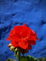 Arequipa couvent de Santa Catalina (dataichi) Tags: voyage trip travel flower peru southamerica nature fleur inca del america south du andes sur sud pérou amérique