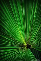 : electric fan (Lakad Pilipinas) Tags: plant green nature leaves electric zoo fan asia philippines vivid palm sharp manila tropical southeast vignette luzon anahaw manilazoo nikond80 flickrchallengewinner audioscience sangoyo footstoolpalm christianlucassangoyo