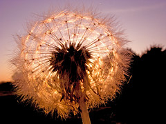Dandelion sunset (Nikonsnapper) Tags: sunset sky macro silhouette dandelion seeds sparkle pissenlit  dientedelen lwenzahn  diamondclassphotographer canong9 project3662008september explore26sept2008407