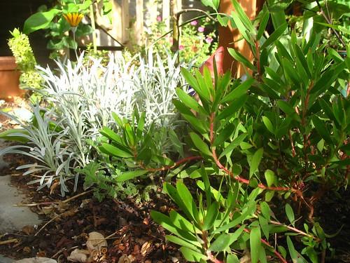 gray Senecio, Leucadendron