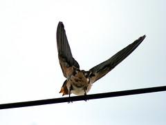 J'y vais (laurent KB) Tags: swallow hirondelle schwalbe andorinha zwaluw golondrina rondine