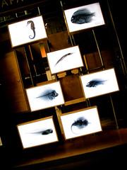 X-ray (blupic) Tags: sanfrancisco fish museum xray inverse californiaacademyofsciences calacademy g10 calacademyorg