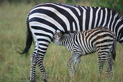 Baby zebra suckling its mother (Cassio Lopes & Alessandra Santos) Tags: africa nature animal mammal kenya wildlife safari zebra calf masaimara cassioaleall