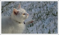 Playing in the snow (HeLena Aa) Tags: winter white snow playing grass cat gras snjr vetur leika leikur