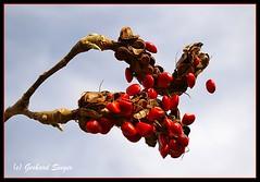 magnolia seed (Gery Singer) Tags: red bej abigfave top20red naturescreation natureselegantshots multimegashot vosplusbellesphotos