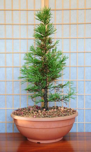 Wellingtonia Sequoiadendron Giganteum Giant Sequoia Sierra Redwood Bonsai Tree A Photo On Flickriver
