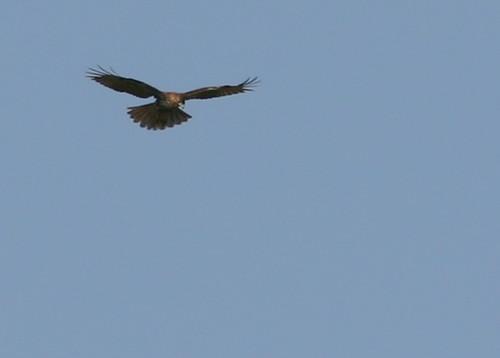 Redtail Kiting 2008_10_31