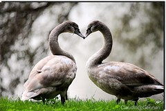 "Heart ... (Claudio Gennari ...""Cogli l'attimo ferma il tempo"") Tags: color nature animal hearts all heart brilliant~eye~jewels nikond3 vosplusbellesphotos thewonderfulworldofbirds claudiogennari lens300mf"