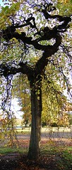 Camperdown Elm (Larry Lamb) Tags: autumn tree leaves yellow dundee camperdownpark camperdownelmtree