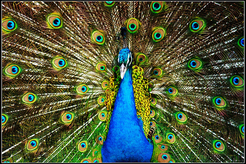 Peacock, photograph courtesy of http://www.flickr.com/photos/laurenceshan/