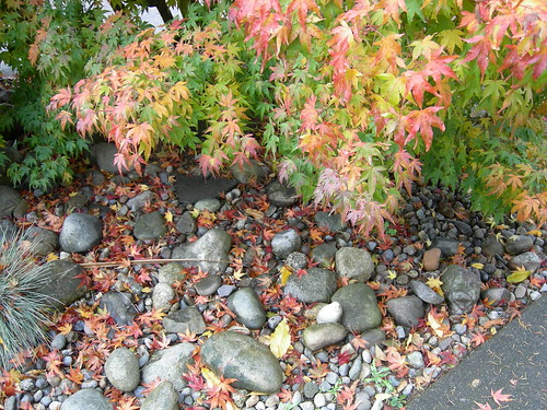 Stone river and Japanese maple