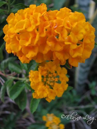 Orange Lantanas