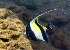 Moorish Idol at Sharks Cove