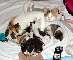 SweetPea and Crew (JK FARMS) Tags: cats pets love animals kitten babies happiness kittens siblings momcat 6weeksold bestofcats playfullittlekittens