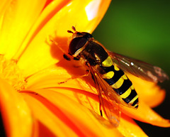 Hoverfly on Marigold (Habub3) Tags: travel flowers holiday macro nature yellow fauna germany insect deutschland photo interestingness nikon europa europe stuttgart urlaub natur blumen explore gelb makro insekt marigold vacanze hoverfly reise d300 schwebfliege hoverflies ringelblume i500 viewonblack habub3