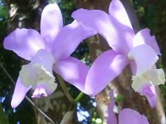 catleya ludigessi (nilgazzola) Tags: cattleya orquidea orquids nilceia nilgazzola ludigessi