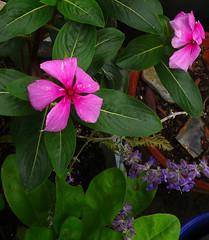 Príncipes sobre lavandas (pandorga) Tags: flowers blue flores purple violet lilac lavander jardín lavanda vinca principes pandorga príncipes viotel